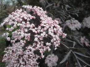Sambucus - Elderberry