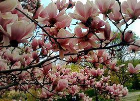 Magnolia-Deciduous