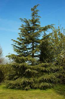 Cedar-Cedrus deodara