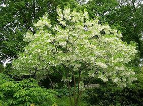 Fringetree-Chionanthus