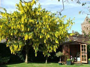Goldenraintree-Koelreuter