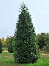 Arborvitae-Thuja plicata