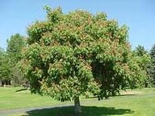 Buckeye-Aesculus pavia