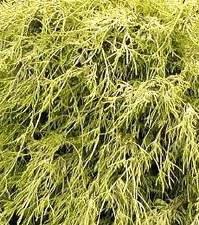 Cypress - Chame pisifera