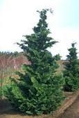 Cypress-Chamaecyparis obt