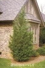 Cypress-x Cupressocyparis
