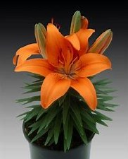 Lily - Asiatic