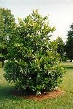 Magnolia-Evergreen