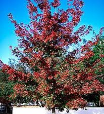 Oak-Quercus