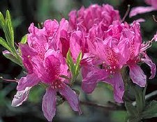 Azalea - Native Deciduous