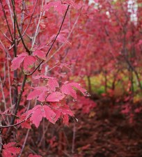 Maple-Acer