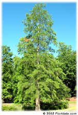 Cypress-Taxodium ascenden