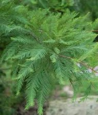 Cypress-Taxodium distichu