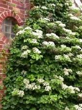 Hydrangea - Climbing